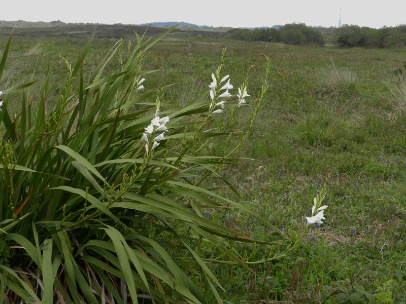Cape Bugle-lily Watsonia borbonica