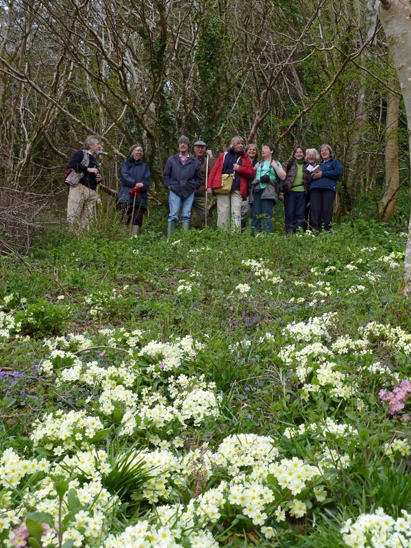 Primroses in recently cleared wood on Golant Downs, with the participants of the walk. Photo by Ian Bennallick.