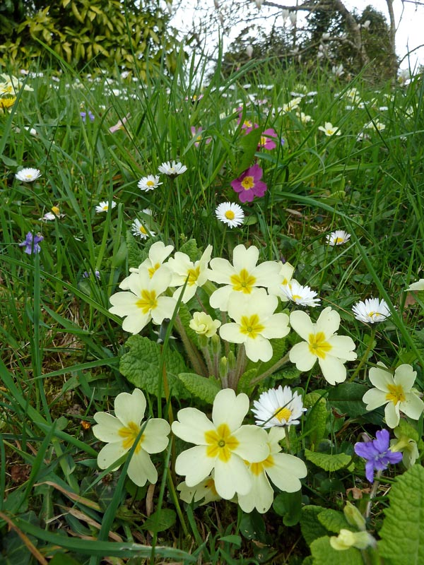 Primrose, Common Dog-violet and Daisy in a garden lawn, near Torfrey, Golant. Photo by Ian Bennallick.