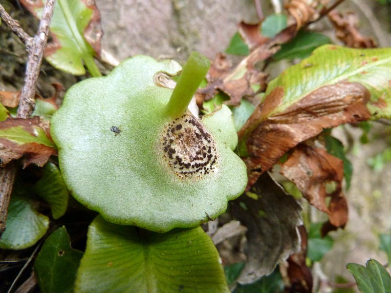 Navelwort (Umbilicus rupestris) affected with the fungus Puccinia umbilici. Photo by Ian Bennallick.