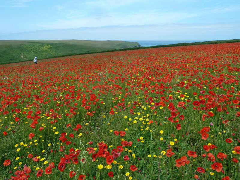 Common Poppy (Papaver rhoeas) is dominant in one field (SW775663) just south of West Pentire