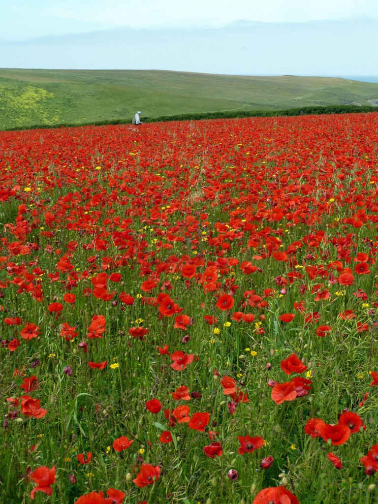 Hazel Meredith in field with Common Poppy (Papaver rhoeas) dominant in one field (SW775663) just south of West Pentire. Photo by I J Bennallick.