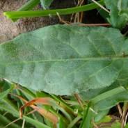 Rumex acetosa subsp. hibernicus in Cornwall