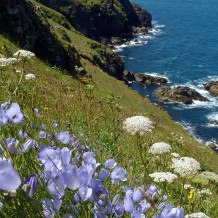 Harebells on Pentire Point, SW98